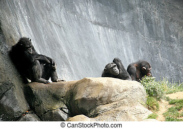 Chimpanzee Relaxing on the Rocks