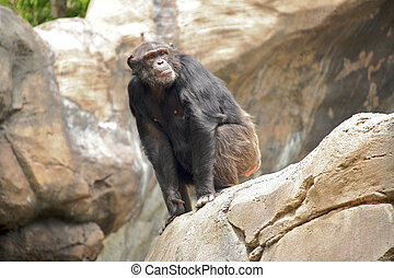 Curious Chimp Sitting on a Rock