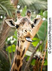 ENGRAÇADO, Girafa, aderindo, or