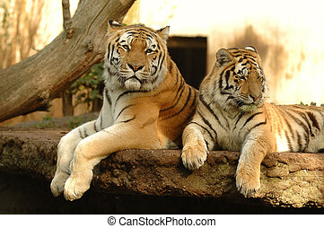 Tigers resting in the shade