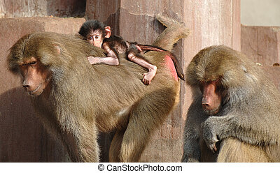 Monky family. Mother, father and newborn baby