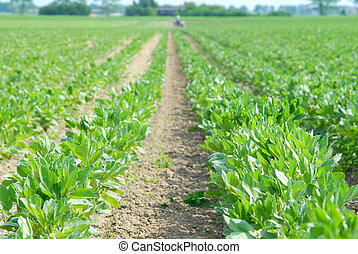 Green field, broad bean, cultivation, agricultural issues