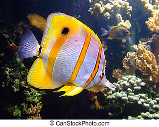 Clownfish - Beautiful clownfish in the tropical coral reef