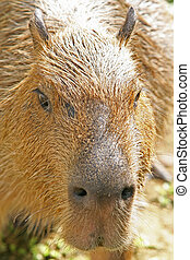 capybara - The capybara; the largest rodent in the world