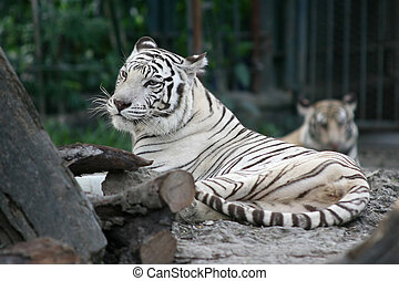 Bengal Tiger - A white Bengal Tiger, the national animal of...