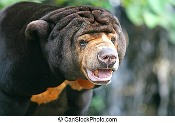"""Malayan Sun Bear - The Malayan Sun Bear or \\\""""dog bear\\\"""""""