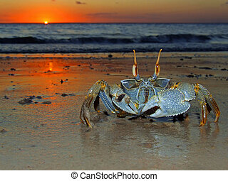 Ghost crab at sunset - Ghost crab (Ocypode sp.) on the beach...