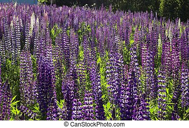A Fieldful of Lupins - A field full of violet lupins