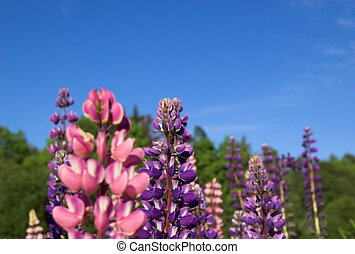 Colourful Lupins 3 - Pink and violet lupins against deep...