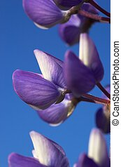 Lupin Flower - A macro image of a couple of lupin flowers...