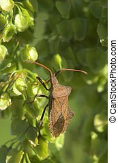 Dock Bug on a Plant