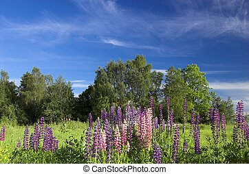 Field with Lupins