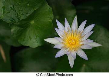 White Water Lily - A white water lily with water drops