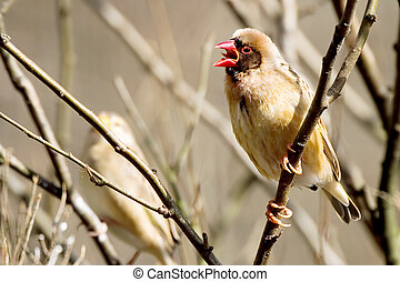 Finch screaming - Finch on a stick, screaming.