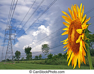 Sunflower Facing Power Lines