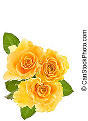 yellow rose background-combination of the perfect form and...
