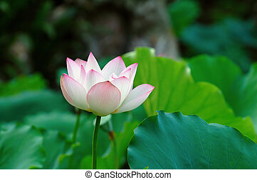 Single lotus flower among the pads lotus leave