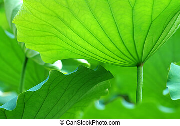 Lotus leaves - The texture of lotus leaves under sunshine...