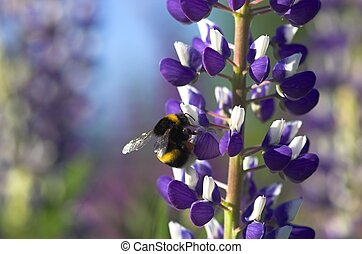 Lupin with Bumblebee - A lupin flower with an bumblebee...