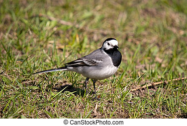 Wagtail on a grass in spring day