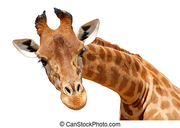 Isolated head giraffe from the front