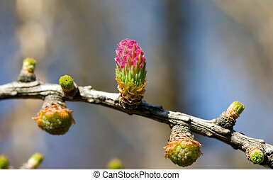 The future cones - Flowering of a larch in the spring