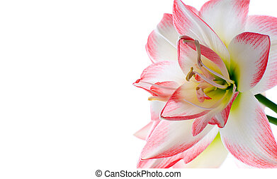 Hippeastrum flower Family: Amaryllidaceae In the language of...