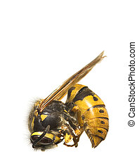 Bee - A macro photo (very detailed) of a bee (on white...