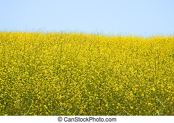Wild Mustard - Brassica Rapa - wild mustard in bloom on a...