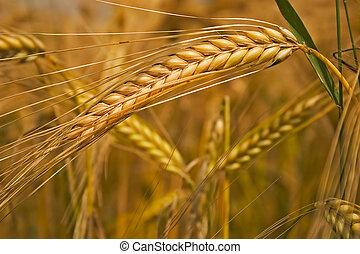 Field of cereals  - Ears of corn in a field in summer