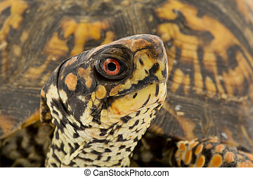 Box Turtle - Adult Eastern Box Turtle Terrapene carolina...