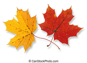 two maple leaves - two vivid maple leaves against white...