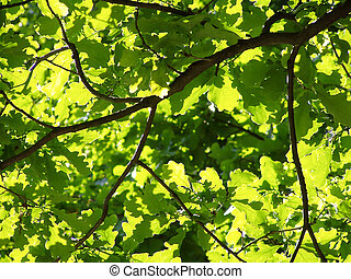 sunlit oak leaves - limb from an oak, where the leaves are...