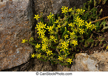 Wallpepper sedum acre photographed near WuerzburgMain,...