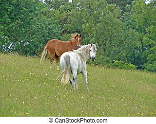 Horses - Two horses in a field with trees on a hill