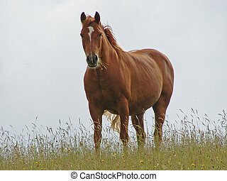 brown horse - Brown horse on the skyline with grass and...