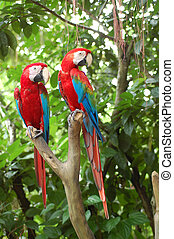 Red parrot2 - tamed big red parrot pair