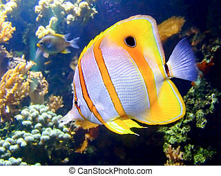 Clown fish - Beautiful clownfish in the tropical coral reef
