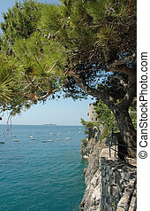 Mediterranean Pine - A Mediterranean pine tree grows out...