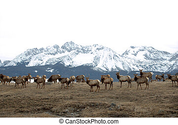 Elk Grazing - A herd of elk come down from the mountains for...