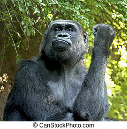 Gorilla making obscene gesture.