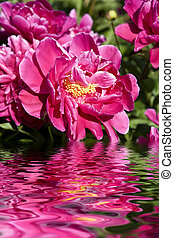 peony flowers - stunning bright peony in the summer day with...