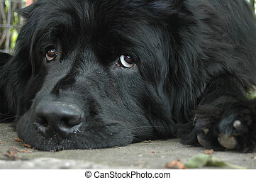 Newfoundland - Puppy dog eyes. A sad newfoundland lies on...