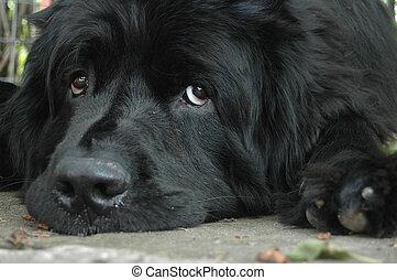 Newfoundland - Puppy dog eyes. A sad newfoundland lies on...