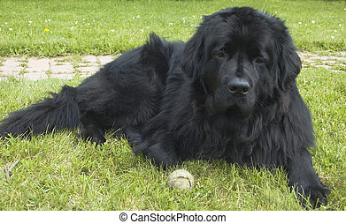 Newfoundland - A big black Newfoundland dog lies in the...
