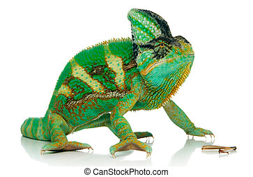 chameleon and cricket\\\'s leg isolated over white...