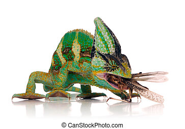 chameleon and crickets leg - chameleon eating a cricket over...