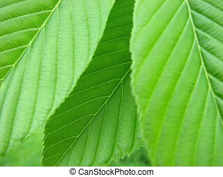 Green Leaves - An upclose photo of some green leaves.