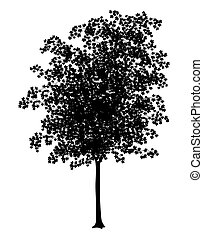 Maple - Detailed illustration of a young maple tree...