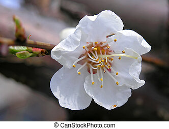 apricot- tree flower - Macro photo of spring april Blossom...